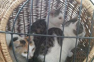Kotka w ciągu roku może mieć nawet trzy mioty, a w każdym nawet po pięć, sześć kociąt.